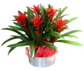 5 adet guzmanya saksı çiçeği