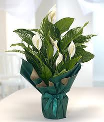 Spatifilyum Barış çiçeği Büyük boy  Ulus Ankara çiçek gönderme