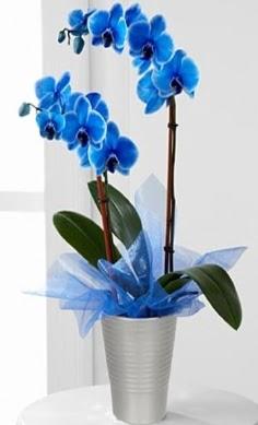 Seramik vazo içerisinde 2 dallı mavi orkide