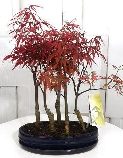5 adet japon akçaağaç bonsai çiçeği