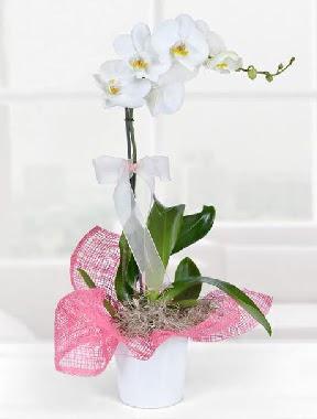 Tek dallı beyaz orkide seramik saksıda