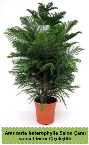 Salon Çamı Satışı Araucaria heterophylla