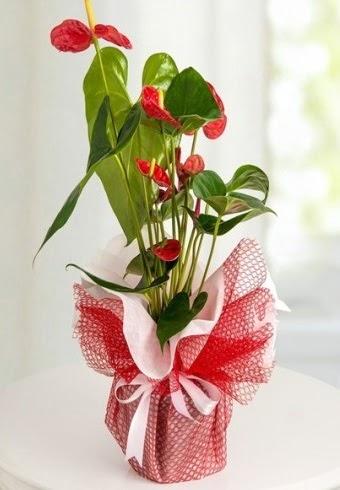 Anthurium Saksı Çiçeği