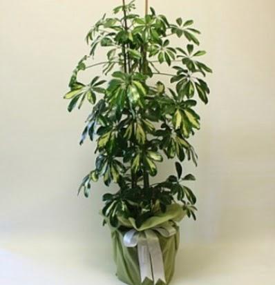 Şeflera salon bitkisi