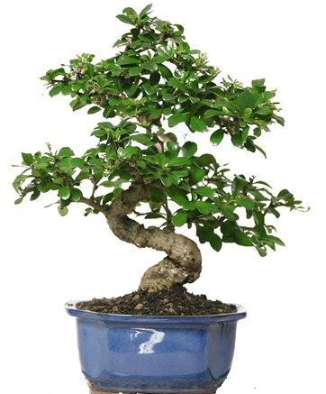 21 ile 25 cm arası özel S bonsai japon ağacı