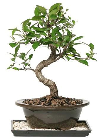 Altın kalite Ficus S bonsai  Süper Kalite