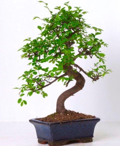 S gövdeli bonsai minyatür ağaç japon ağacı