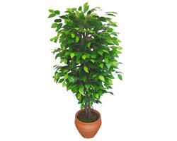 Ficus Benjamin 1,50 cm   Ulus Ankara İnternetten çiçek siparişi