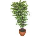 Ficus özel Starlight 1,75 cm   Ulus Ankara güvenli kaliteli hızlı çiçek