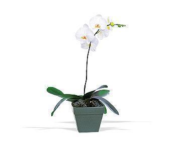 orkide saksi çiçegi  Ulus Ankara yurtiçi ve yurtdışı çiçek siparişi