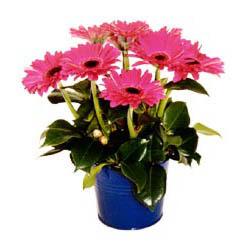vazo içerisinde gerbera çiçekleri   Ulus Ankara kaliteli taze ve ucuz çiçekler