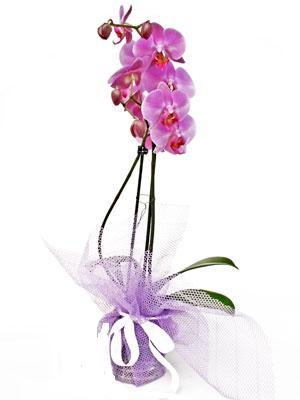 Ulus Ankara İnternetten çiçek siparişi  Kaliteli ithal saksida orkide