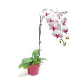 Saksida orkide