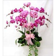 Ulus Ankara yurtiçi ve yurtdışı çiçek siparişi  3 adet saksi orkide  - ithal cins -