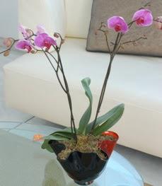 Ulus Ankara 14 şubat sevgililer günü çiçek  tek dal ikili orkide saksi çiçegi