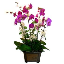 Ulus Ankara güvenli kaliteli hızlı çiçek  4 adet orkide çiçegi