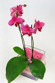 Ulus Ankara 14 şubat sevgililer günü çiçek  tek dal cam yada mika vazo içerisinde orkide