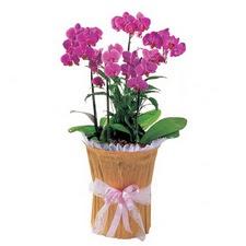Ulus Ankara çiçek mağazası , çiçekçi adresleri  saksi iiçerisinde 3 dal orkide
