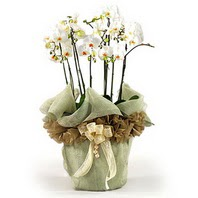 Ulus Ankara anneler günü çiçek yolla  3 dal orkide , saksi çiçegi , 3 kök orkide