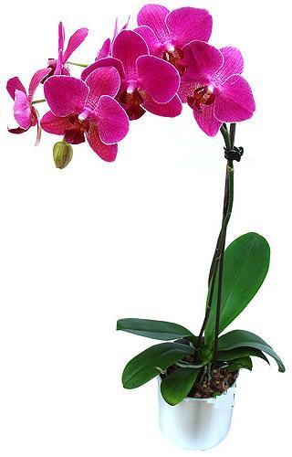 Ulus Ankara 14 şubat sevgililer günü çiçek  saksi orkide çiçegi