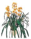 Ulus Ankara çiçek online çiçek siparişi  Orchiede ithal büyük boy saksi