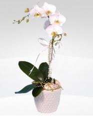 1 dallı orkide saksı çiçeği  Ulus Ankara hediye çiçek yolla