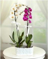 1 dal beyaz 1 dal mor yerli orkide saksıda  Ulus Ankara çiçek gönderme