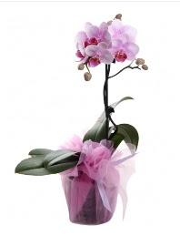 1 dal pembe orkide saksı çiçeği  Ulus Ankara çiçek satışı