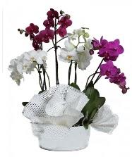 4 dal mor orkide 2 dal beyaz orkide  Ulus Ankara İnternetten çiçek siparişi