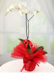 1 dal beyaz orkide saksı çiçeği  Ulus Ankara ucuz çiçek gönder