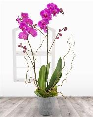 2 dallı mor orkide saksı çiçeği