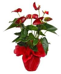 Görsel antoryum saksı çiçeği  Ulus Ankara kaliteli taze ve ucuz çiçekler