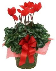 Sılkamen saksı çiçeği  Ulus Ankara ucuz çiçek gönder