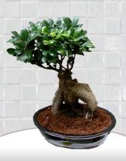saksı çiçeği japon ağacı bonsai  Ulus Ankara çiçek satışı