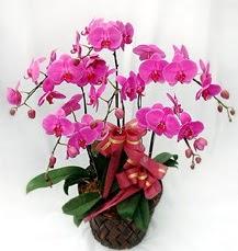 6 Dallı mor orkide çiçeği  Ulus Ankara İnternetten çiçek siparişi