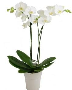 2 dallı beyaz orkide  Ulus Ankara online çiçekçi , çiçek siparişi