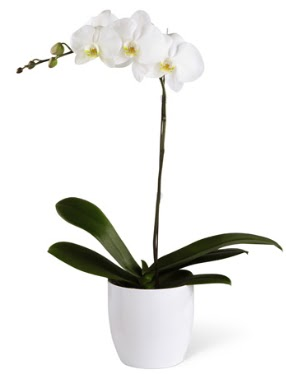 1 dallı beyaz orkide  Ulus Ankara çiçek yolla , çiçek gönder , çiçekçi