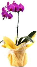 Ulus Ankara anneler günü çiçek yolla  Tek dal mor orkide saksı çiçeği