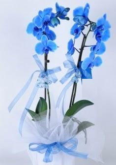 2 dallı mavi orkide  Ulus Ankara hediye sevgilime hediye çiçek