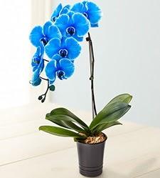 1 dallı süper eşsiz mavi orkide  Ulus Ankara çiçekçi telefonları