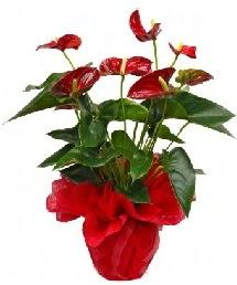 Antorium saksı çiçeği  Ulus Ankara 14 şubat sevgililer günü çiçek