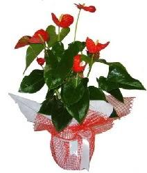 Antoryum saksı iç mekan süs bitkisi  Ulus Ankara çiçek gönderme