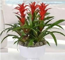 3 lü Guzmanya saksı çiçek bitkisi  Ulus Ankara çiçek yolla , çiçek gönder , çiçekçi