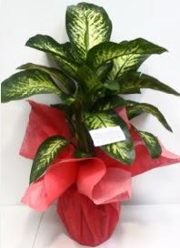 Büyük boy Difenbahya Saksı bitkisi 90 cm 1.10 cm  Ulus Ankara çiçek servisi , çiçekçi adresleri