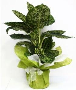 Difenbahya Marianne orta boy  Ulus Ankara çiçek yolla , çiçek gönder , çiçekçi