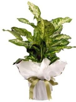 Difenbahya Mars Küçük boy  Ulus Ankara çiçek gönderme