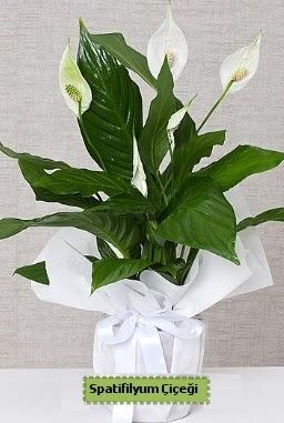 Spatifilyum Orta boy Saksı çiçeği  Ulus Ankara İnternetten çiçek siparişi