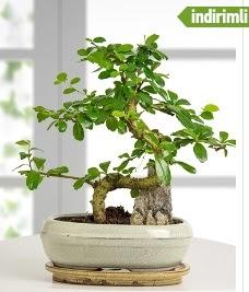 S şeklinde ithal gerçek bonsai japon ağacı  Ulus Ankara hediye sevgilime hediye çiçek
