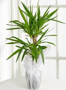 2 li yucca saksı iç mekan bitkisi