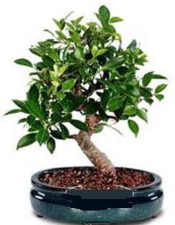 5 yaşında japon ağacı bonsai bitkisi  Ulus Ankara İnternetten çiçek siparişi